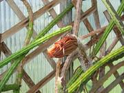 Auch im 2008 bl�hen die K�niginnen wieder: Einzelbl�te am 22. Juni 2008, nachmittags um 17:50