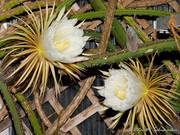 Die K�nigin der Nacht vermehrt sich vegetativ durch ihre langen Triebe.