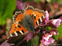 Butterfly / Schmetterling: Kleiner Fuchs