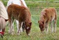 die beiden Pony-Fohlen