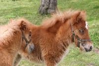 Highlight for Album: Ponys und Pferde