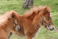 wollige Ponyfohlen