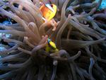 Tauchen: Anemonenfisch