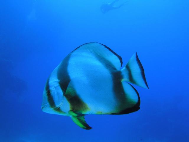 Tauchen: Fledermausfisch