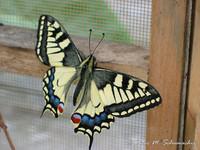 Highlight for Album: Schmetterling